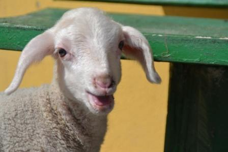 Schafe-Vierbeinige Naturschützer